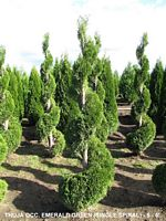 THUJA OCC and  EMERALD GREEN  (SINGLE)